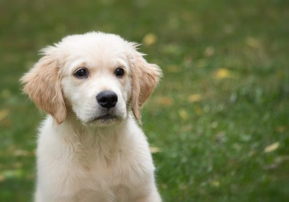 Lively Little Dogs: When Corgis And Golden Retrievers Mix 12 Lively Little Dogs: When Corgis And Golden Retrievers Mix
