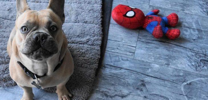 french bulldog, dog, toys