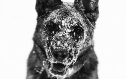 The Illusive and Stunning Lycan Shepherd 1 The Illusive and Stunning Lycan Shepherd