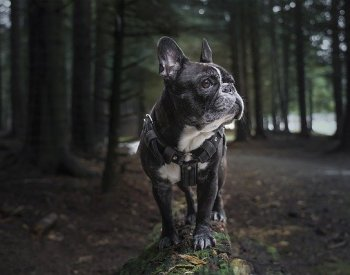 Your Guide to the French Bulldog Breed