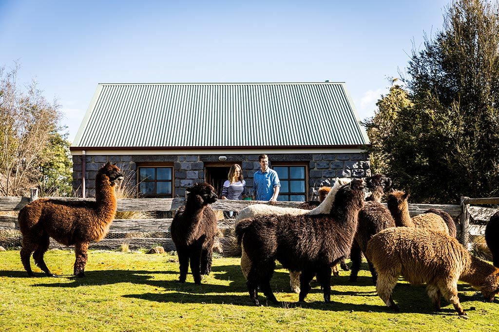 A young couple stadning at the fence in front of a stone cottage looking at a herd of alpacas