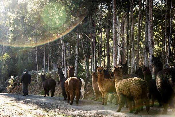 The herd of alpacas follow Graham on their early morning walk at Tin Dragon Cottages