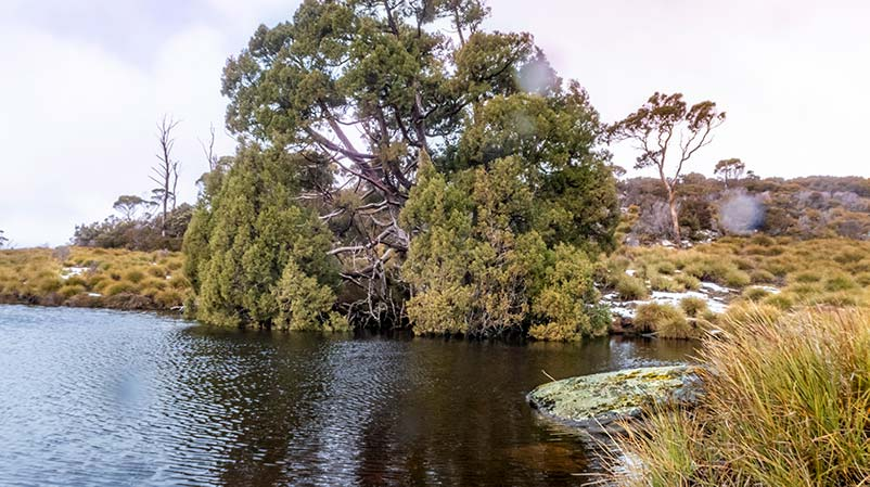 A pencil pine trees is growing next to a small tarn. In the background are button grasses.
