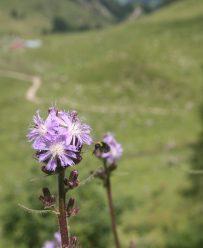 Almblumen in prächtiger Blüte
