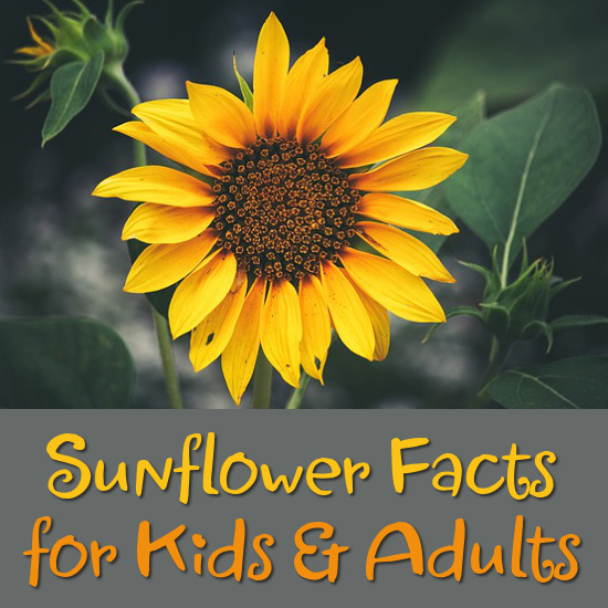 Sunflower Facts for Kids and Adults to Discover facts on the sunflower flower for kids and adults to learn  discover and  enjoy
