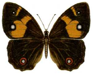 Tisiphone abeona