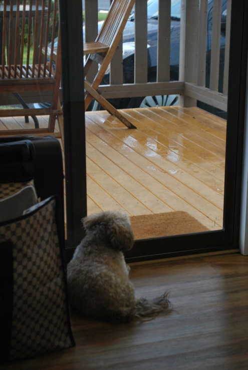 Audie gazing at the rain