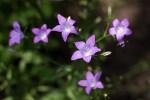heimische Wildblumen