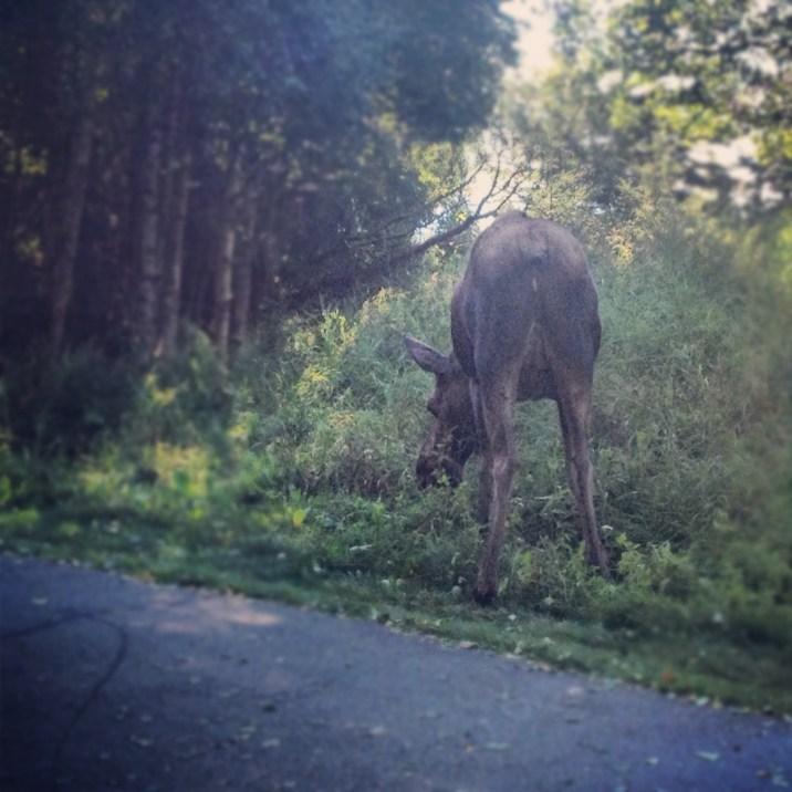 Moose Showing Her Good Side
