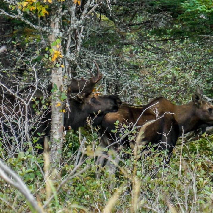 THGJ Cabot Trail -Moose