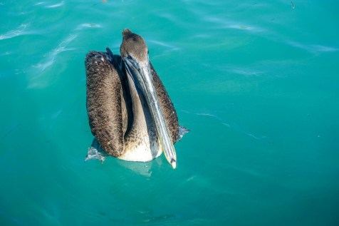 Pesky Pelican Trying to Steal Tarpon Bait
