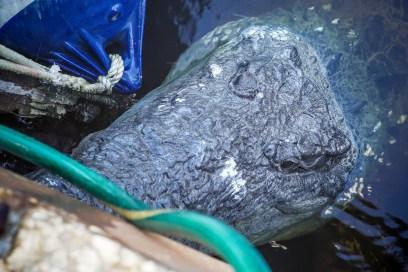 THGJ Everglades American Crocodile - 0002