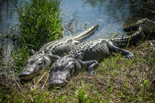 THGJ Everglades Anhinga Trail - 0023