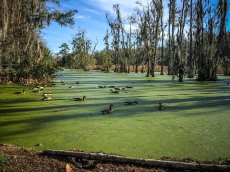 Ducks love Duckweed... go figure!