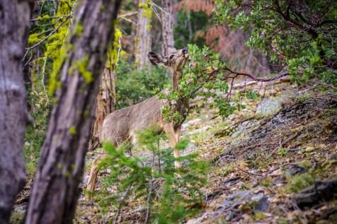 Yosemite Deer