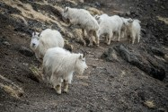 Mt Ellinor Hike And Mountain Goats - 0008