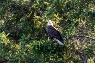 This Bald Eagle Is Looking For Dessert
