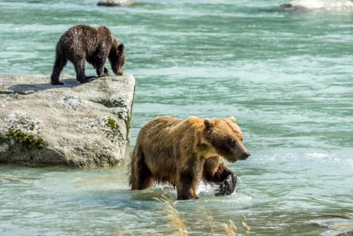 Haines Grizzly Bear - 0005