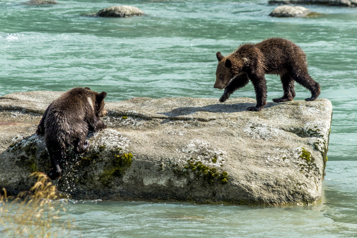Haines Grizzly Bear - 0006