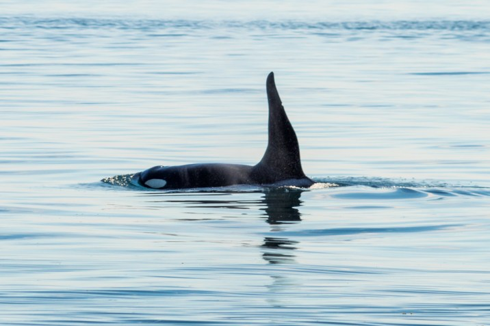 Killer Whale - 0001