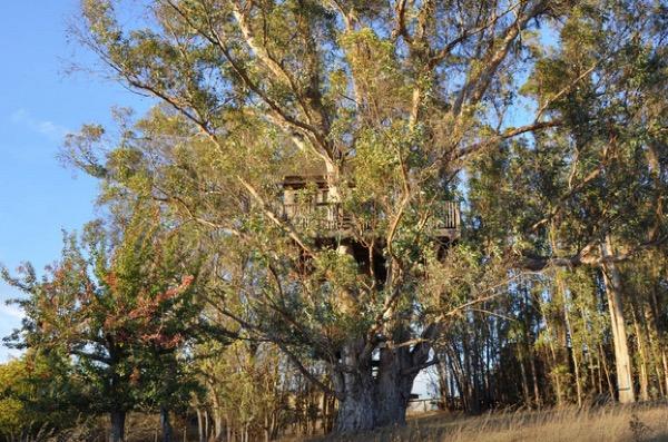 Multi-Level Treehouse in 110 ft. Eucalyptus Tree-018