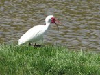 ...or the talkative ibis.