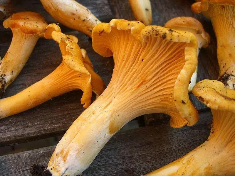 Pacific Golden Chanterelles Mushrooms