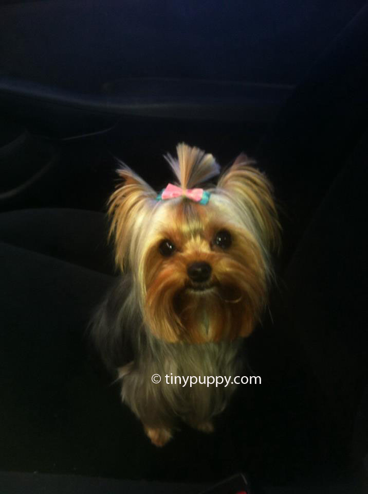 Yorkie Haircuts And Hairstyles Tinypuppy