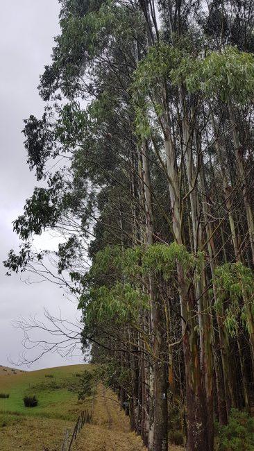 Te Araroa Trail Day 111 - Eucalyptus forest near Birchwood