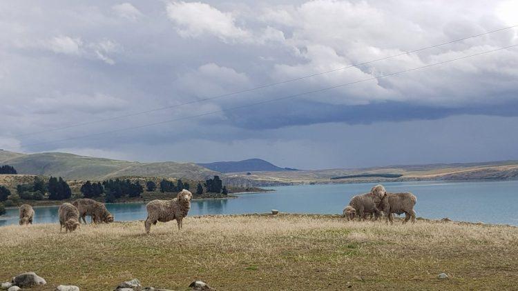 Te Araroa Trail Day 140 - Sheep Lake Tekapo