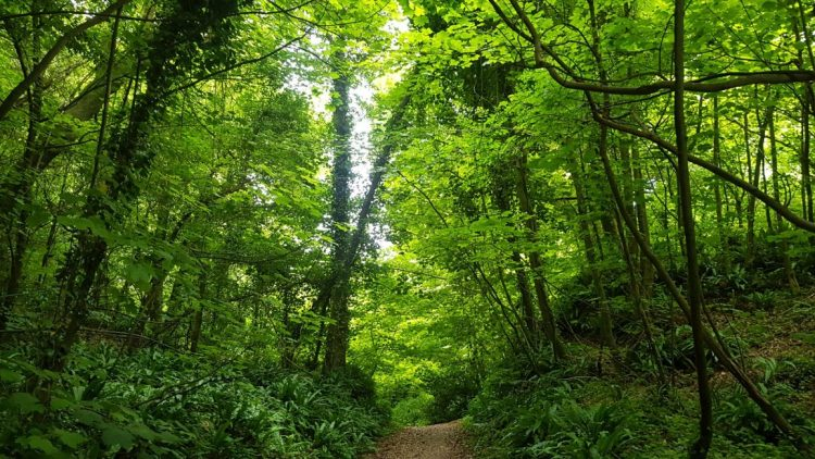 The woodlands of the undercliff, near Lyme Regis