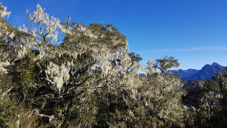 Trees full of lichen
