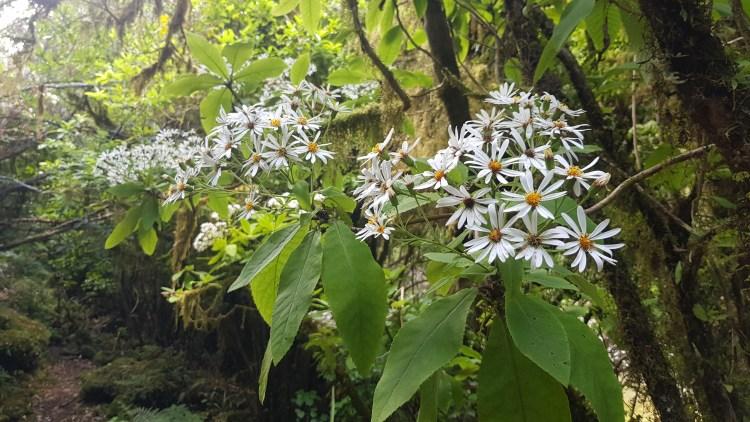 Tree Daisy