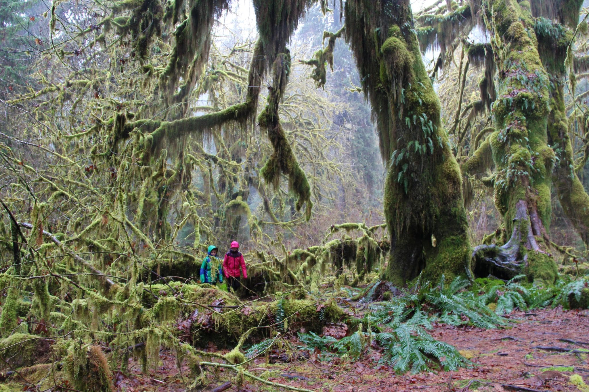 Hoh Rain-forest Hall of Mosses Trail, Olympic National Park