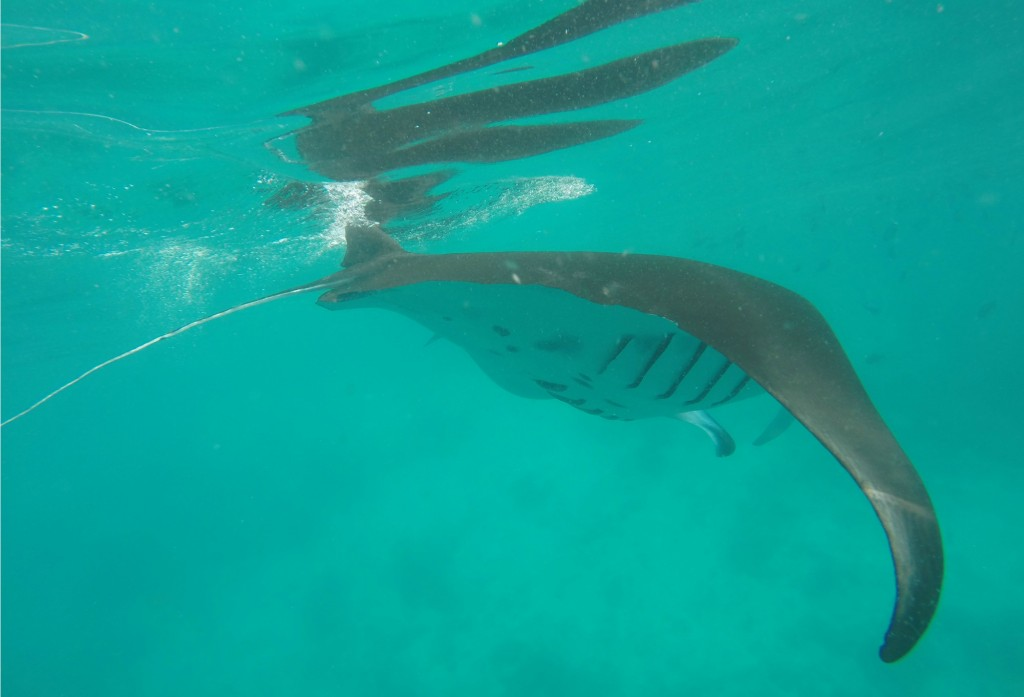 Snorkelling with Manta Rays