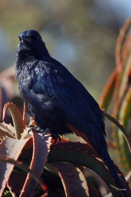 red_winged_starling