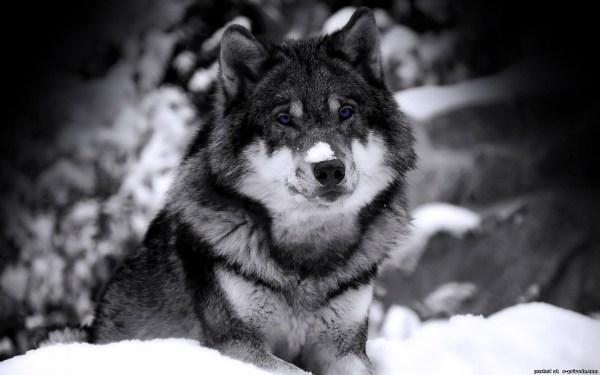 Волк картинки скачать на телефон - крутые заставки