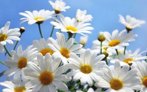 Скачать бесплатно цветы ромашки - лучшие изображения