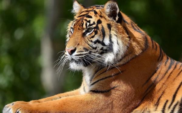 Скачать фото тигра на телефон - бесплатно