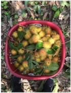 Rambutan ('hairy fruit')
