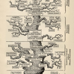"""""""Tree of life"""" By Ernst Haeckel - First version from en.wikipedia; description page was here. Later versions derived from this scan, from the American Philosophical Society Museum., Public Domain, https://commons.wikimedia.org/w/index.php?curid=2731459"""