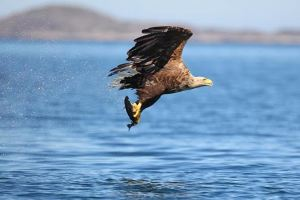White Tailed Eagles 3
