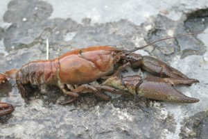 Water users urged to take precautions to limit an outbreak of Crayfish Plague on River Suir downstream of Clonmel to Carrick-on-Suir