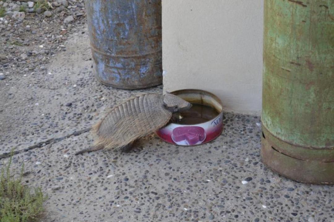 Armadillo che beve alla Penisola di Valdés