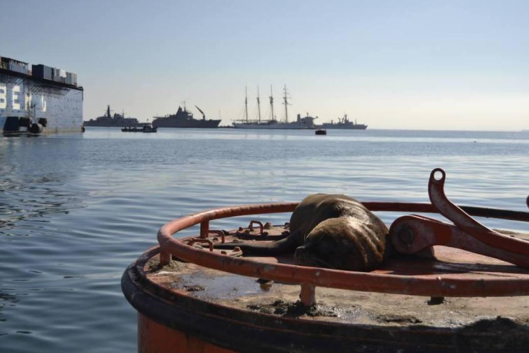 Leone marino nell'escursione in barca di Valparaiso in Cile