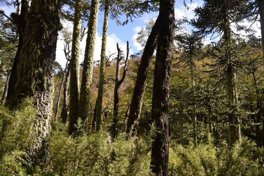 Parque Huerquehue sentiero Los Lagos a Pucon in Cile