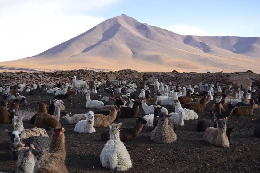 Allevamento numeroso di Lama durante il tour al Salar di Uyuni