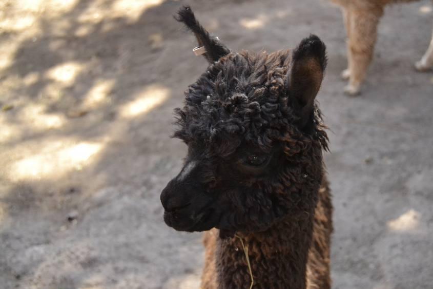 Primo piano su di un alpaca a Mundo Alpaca ad Arequipa