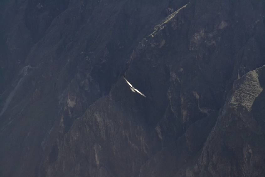 Vista su condor che plana dalla Cruz del Condor all'interno del Canyon del Colca