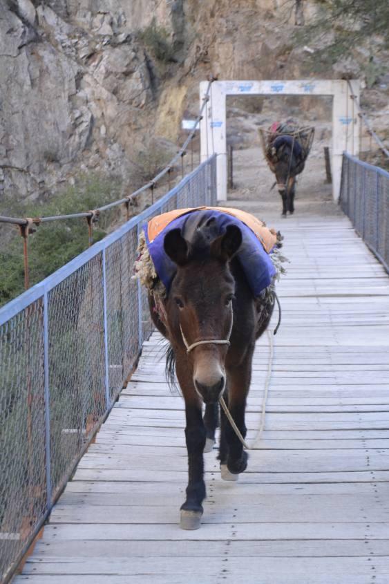Incontro ravvicinato con gli asini da soma all'interno del Trekking del Canyon del Colca in Perù